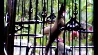 Repeat youtube video นกสงขลาเสียงทอง02102009(001).mp4