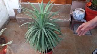 Yucca Plant Care || Fun Gardening || 18 May, 2017