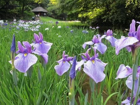 tokyo-iris-garden-東京都・昞治神宮のハペショウブ・meiji-shrine-東京観光-蚱の名所案内