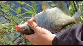 ЛОВЛЯ ЛЕЩА НА ФИДЕР ОСЕНЬЮ РЫБАЛКА НА ЛЕЩА ЛЕЩ НА САЛО Перловка для рыбалки