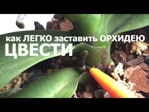 КАК легко ЗАСТАВИТЬ ЦВЕСТИ ОРХИДЕЮ сделайте это и орхидея начнет цвести