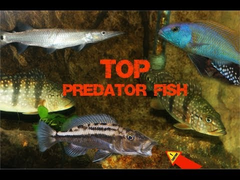 Apex Predators In My Aquarium| My Top Predator Fish