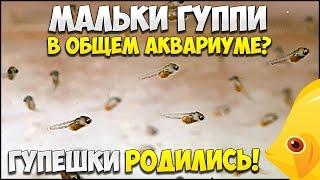 ГУППИ РОДИЛА МАЛЬКОВ! Мальки гуппи в общем аквариум 15.03.2017 | МАЛЬКИ