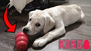 Labrador Puppy Plays With Kong Toy For First Time!!