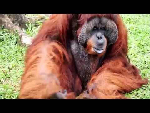 Chimpanzee, Orangutang. Negara Zoo, Kuala Lumpur, Malaysia,  2016