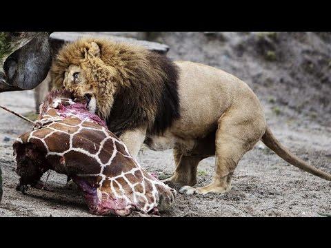 The Most Dangerous Animal's An Attack : Thor Kills Man : A Bear Devouring a Man :Cheetah Preys Woman