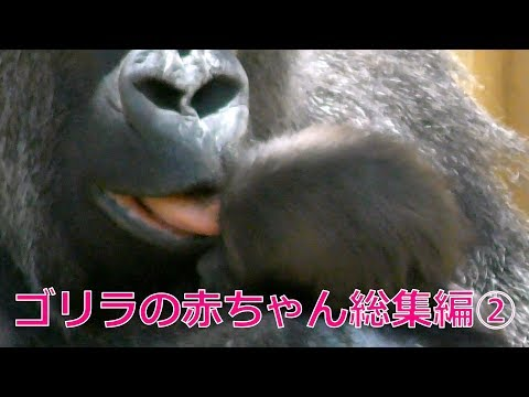 1[Kyoto City Zoo] Gorilla 'One Year of Kintaro' Omnibus
