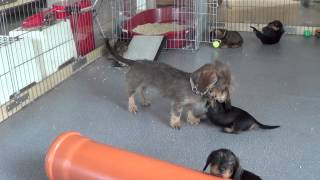 Mini Dachshund Ava Takes Care About Pups