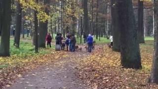 Стайка одинаковых собак и похожих людей в Гатчинском парке. 16.10.2016,14:48