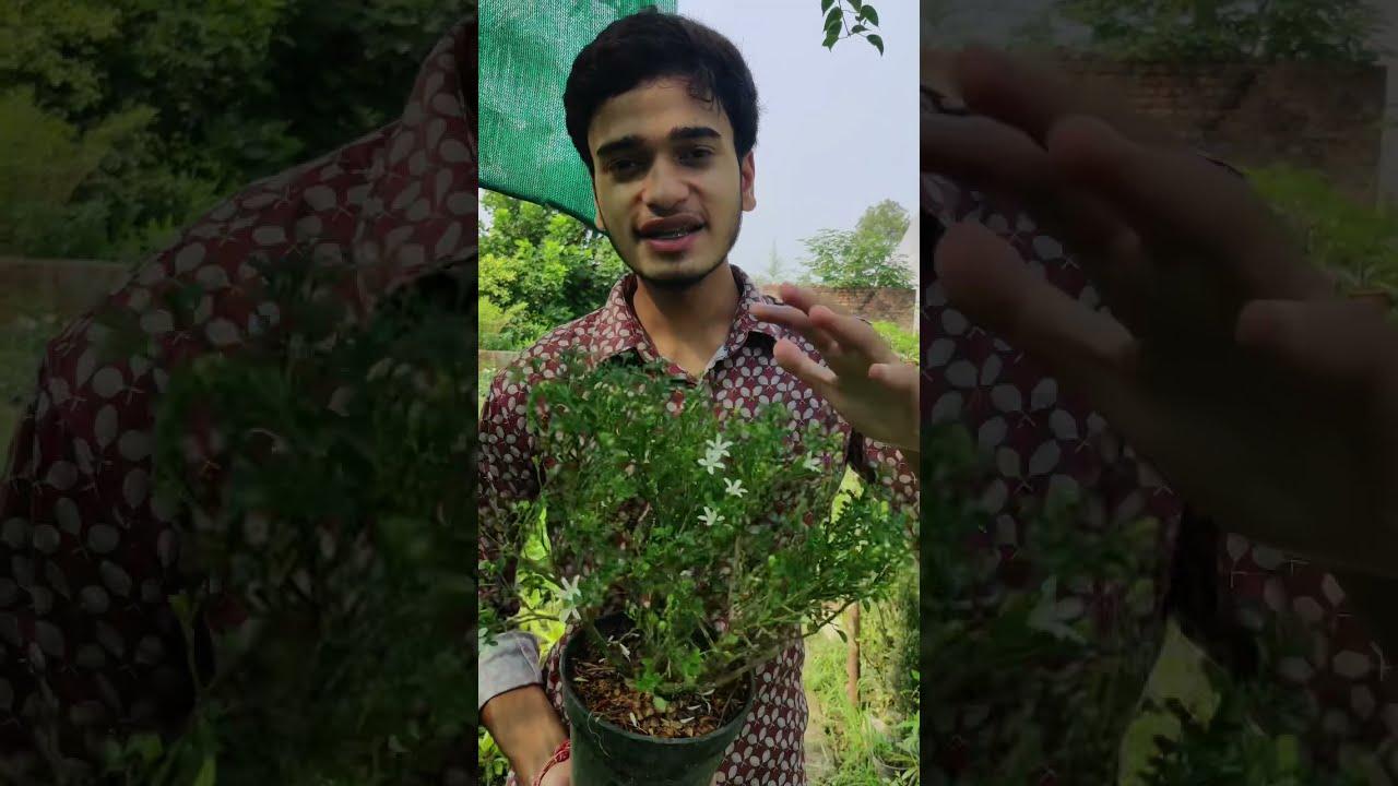 Beautiful Madhukamini flowers , Grow at home 🏡
