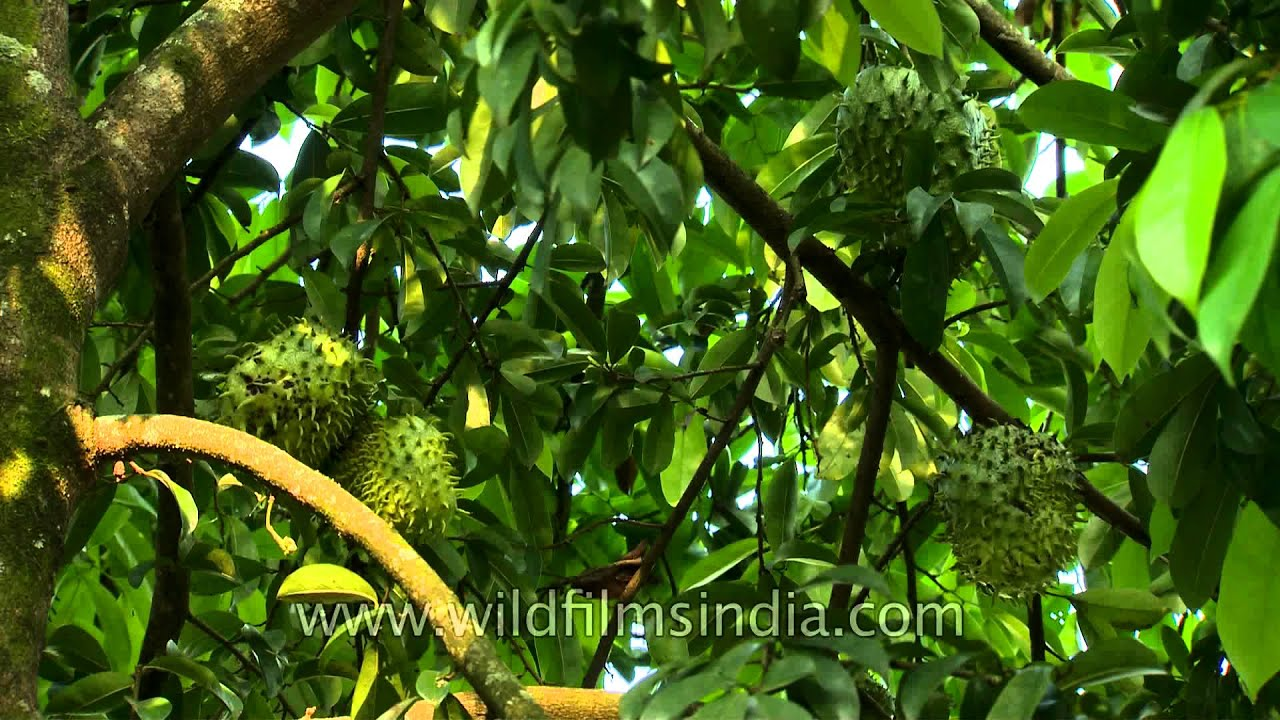 Soursop fruit kills cancer