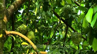 Soursop fruit kills cancer