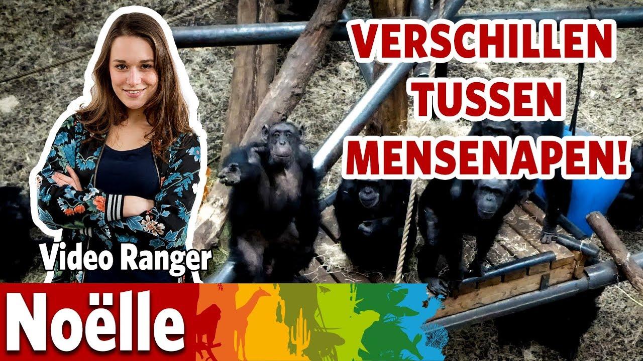 Ik zoek samen met een apendeskundigen de verschillen tussen chimpansees en gorilla's!
