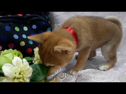 PuppyFinder.com : Shiba Inu Banana2