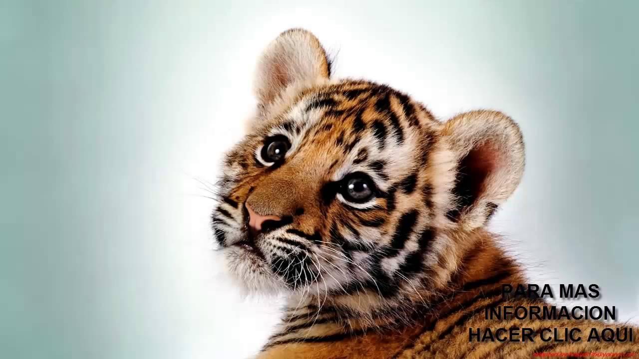Animales Nativos El Tigre Grigo Que Cruzo El Mundo Para Tener Una