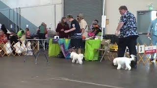 Woofstock Dog Show Bichon Frise Judging 2011-06-11.m4v