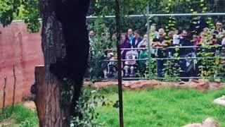 Αττικό Ζωολογικό Πάρκο - Jaguar (Ιαγουάροι)