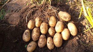 видео Лучшие сорта картофеля