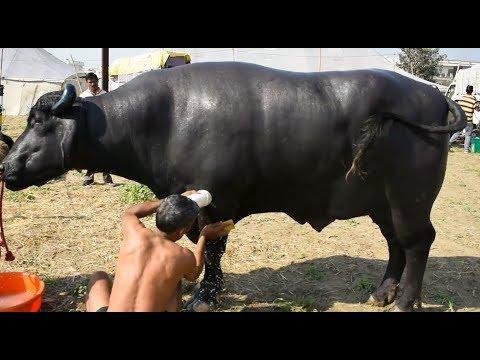 Murrah bull Yuvraj getting ready for competition