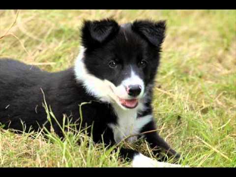 Top 20 des chiens les plus beaux du monde !