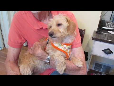 Molly - Cairn Terrier Mix