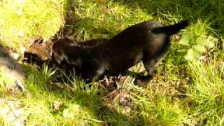 Patterdale Terrier Puppy Training Part 2