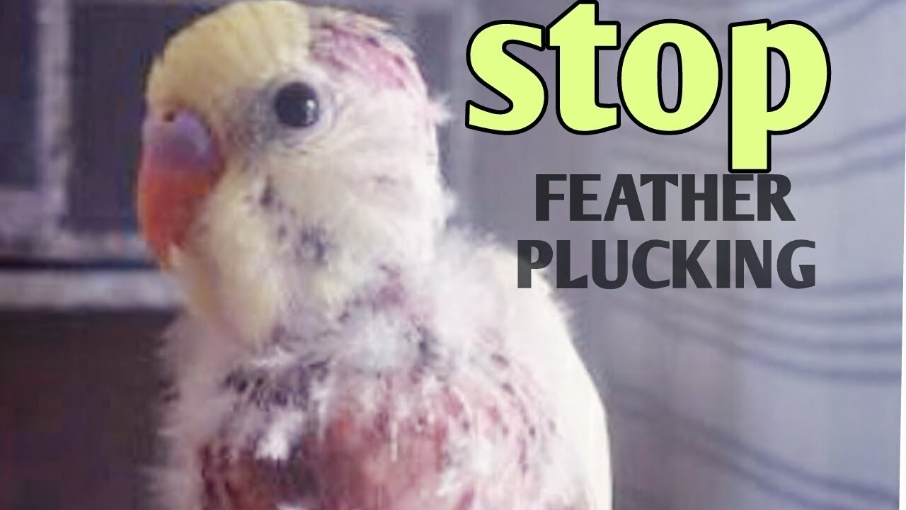 Budgies feather plucking disease - know the reason