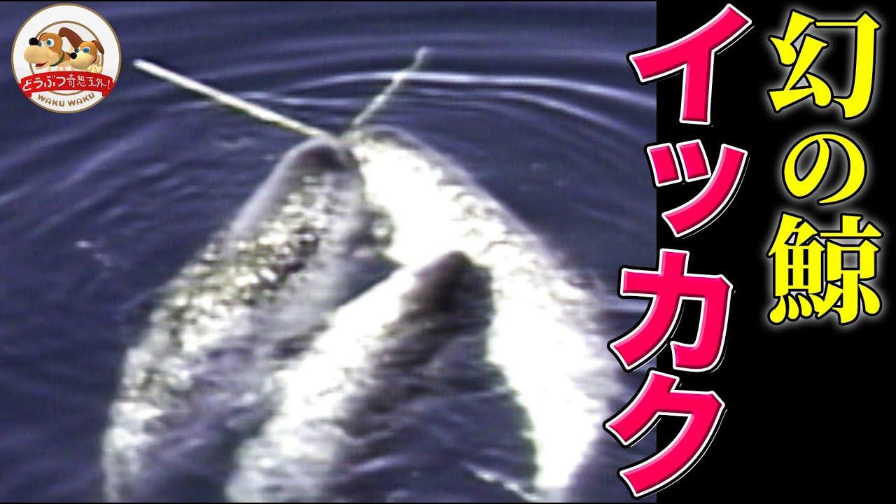 【北極圏】幻のクジラ・イッカクの儀式『クロスタスク』の撮影に成功!水中撮影にも挑戦(イッカクを追う・後編)【どうぶつ奇想天外/WAKUWAKU】