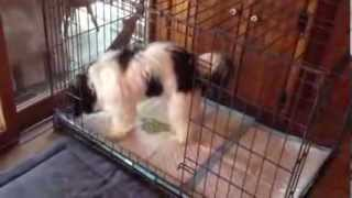 Large dog fully PTPA trained with the Puppy Apartment