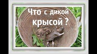 ЧТО МЫ СДЕЛАЛИ С ДИКОЙ КРЫСОЙ Видео про крыс Клетка для крысы Дикий пасюк или домашняя крыса
