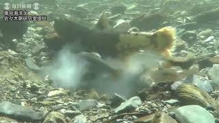 岩手 サクラマスとヤマメの繁殖行動撮影に成功