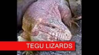Lizard Photo  Gallery