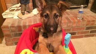 German Shepherd Puppy W/ Megaesophagus Jumps Into Chair