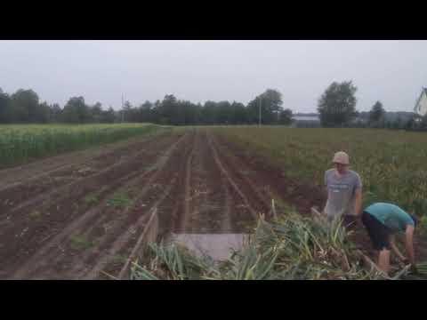 The Garlic Farmer-  Harvesting my 2017 Ontario Garlic Crop