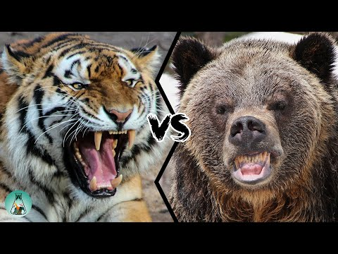 SIBERIAN TIGER VS GRIZZLY BEAR - Which Is The Strongest?