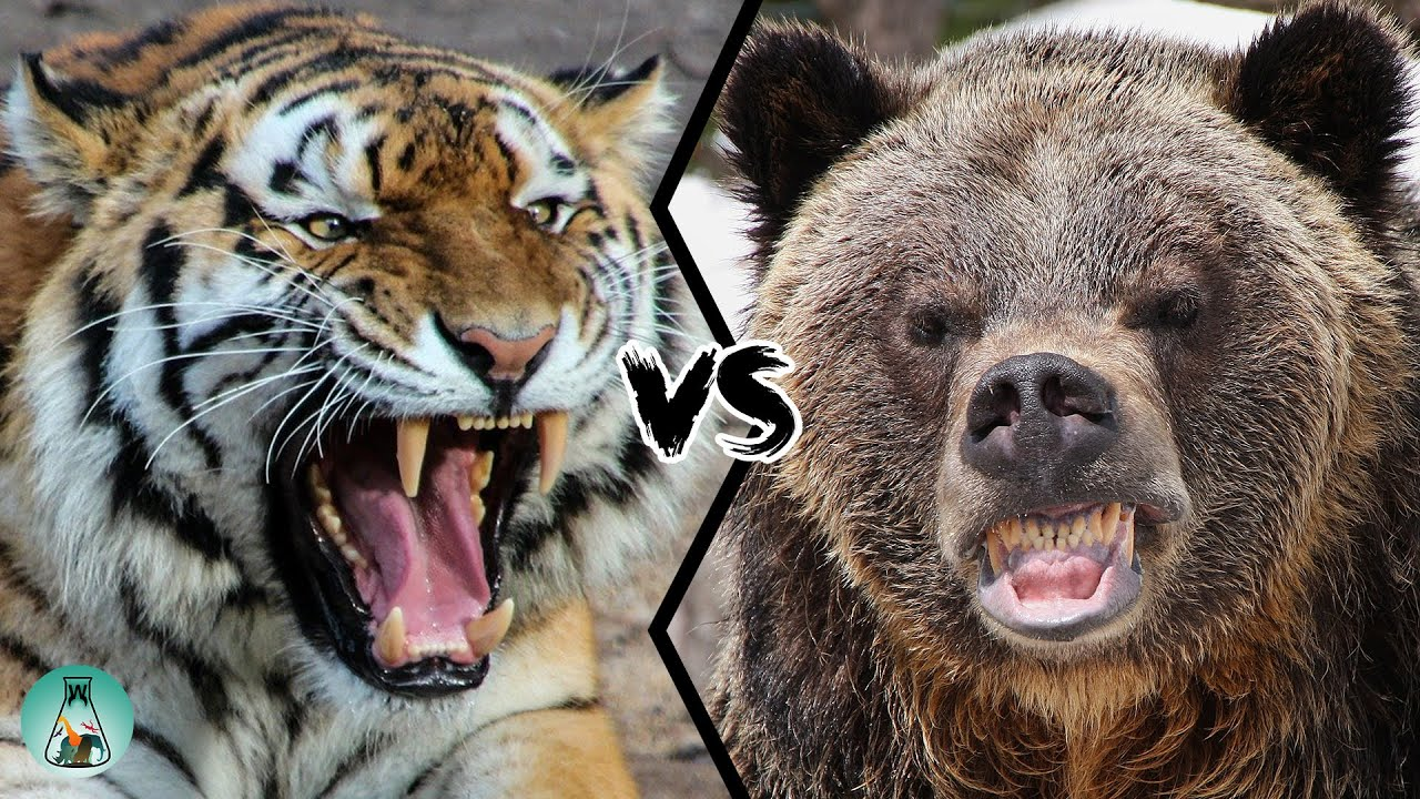 Siberian Tiger Vs Grizzly Bear Which Is The Strongest Youtube