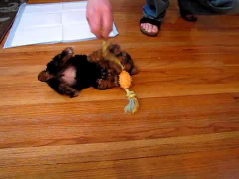puppy-in-a-tug-of-war-with-nylabone-toy!