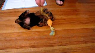 Puppy In A Tug-of-war With Nylabone Toy!