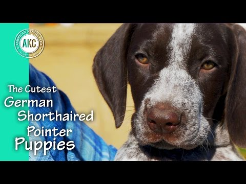 The Cutest German Shorthaired Pointer Puppies