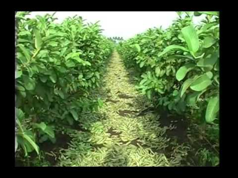 All you wanted to know about guava plantation | Annadata