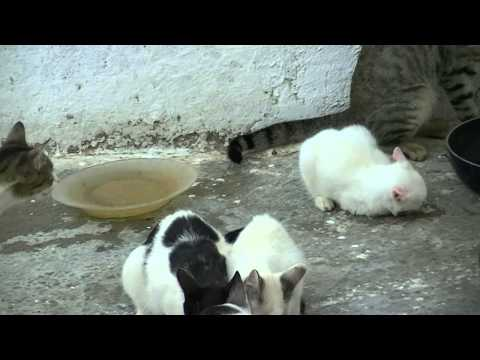 Feral cat attacks kitten
