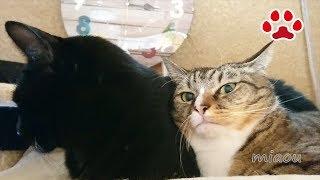 掃除機かけたら猫に冷たい目でみられた【瀬戸のみみ日記】When I used Vacuum Cleaner, Mimi stared at me