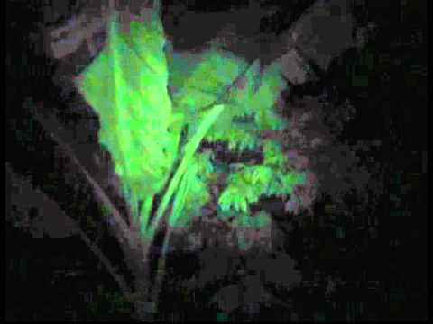 The night sounds of the Big Island Of Hawaii