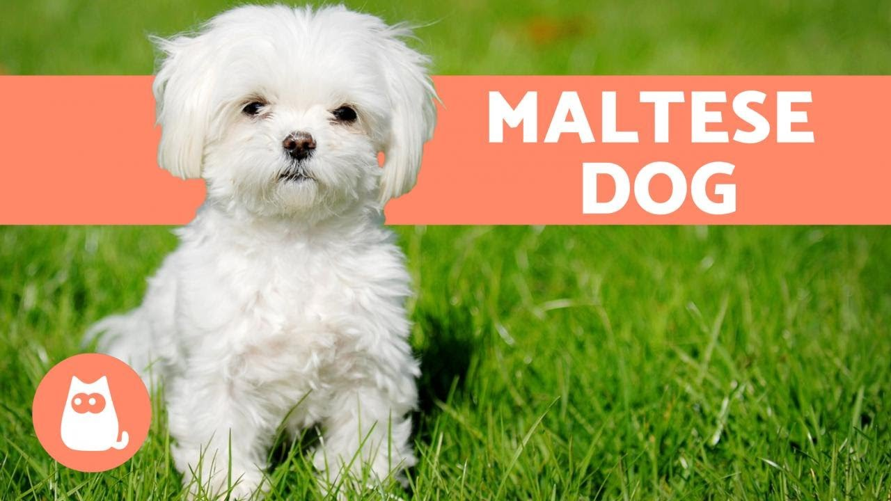 The Maltese Dog Character Care And Health Youtube