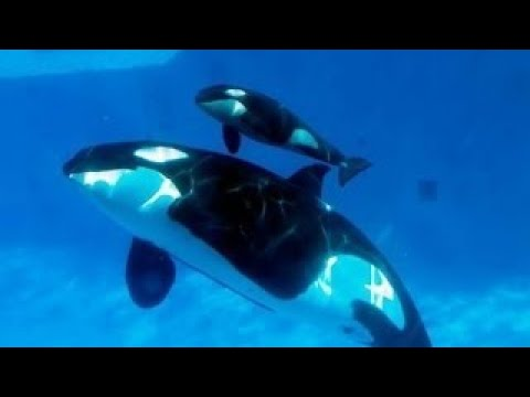 NATURE DOCUMENTARY 2017: Amazing Orca Killer Whales In The Wild [Wild Ocean Documentary]