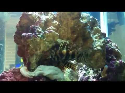 General Info Fuzzy Dwarf Lion Fish