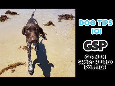 German ShortHaired Pointer Dog Daily Exercise | GSP | Tips and Tricks 101