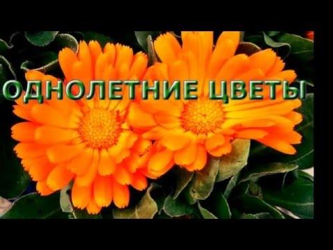 Однолетние цветы для вашей дачи.