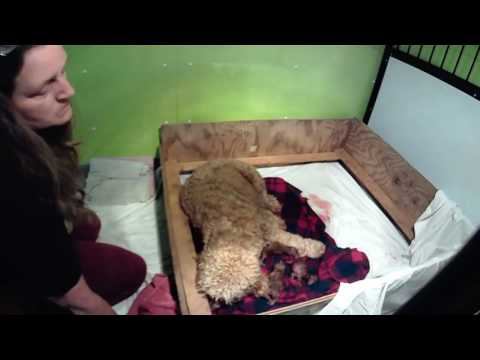 1st time Goldendoodle Momma giving birth !!!! Did Great !! (Countryside Doodles)