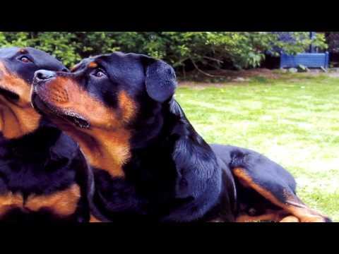 Rottweiler Deworming